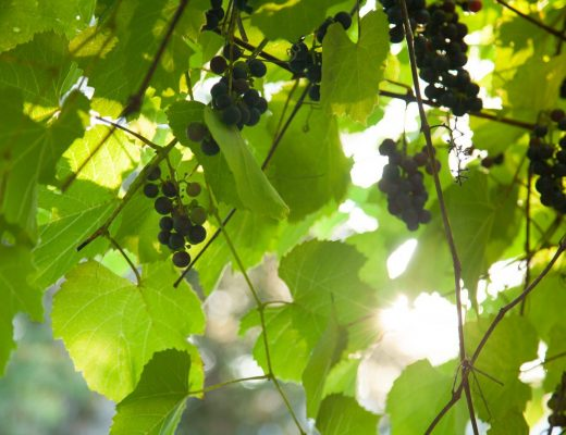 Concord grapes at Walden cabin