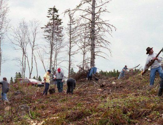 tree planting, PEI, Stuart Hickox